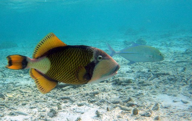 Riesendrueckerfisch_BBB