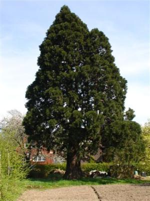 Bergmammutbaum in Gillrath