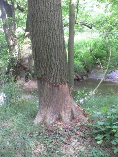 Auch alte Bäume müssen früher oder später dran glauben...